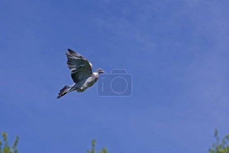 Photo pour Pigeon des bois columba palumbus, adulte en vol, Normandie En France - image libre de droit