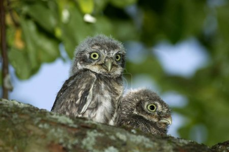 Little Owl, athene noctua, Youngs standing on Bran...