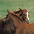 Anglo Arab Horse, Mare with Foal Grooming...