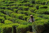 Girl in a tea plantation