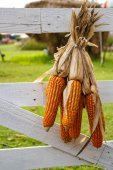 Corn hanging dry at the white fence.