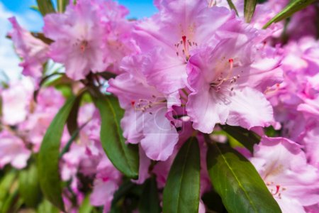 Bright red-pink flower Rhododendron . Bush with br...