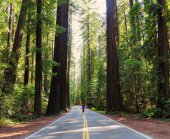 Driving Through the Lush Green Redwood Forest