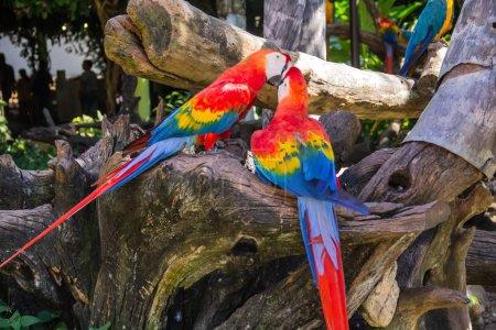 Photo pour Aras colorés Oiseaux, Perroquet dans le zoo - image libre de droit