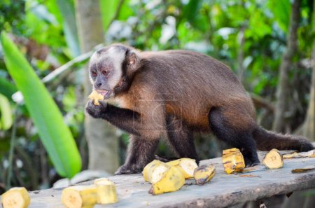 Tufted Capuchin, also known as Brown or Black-capped Capuchin fed with bananas by the Tambopata National Park staff, in Peru
