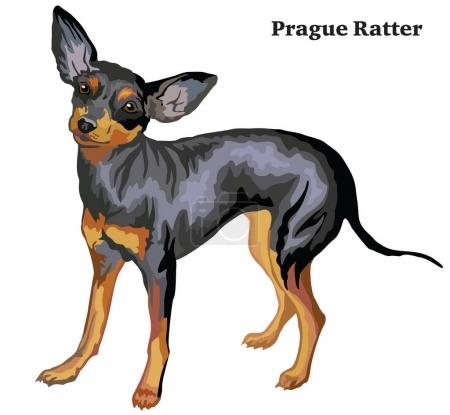 Colored decorative standing portrait of dog Prague Ratter vector
