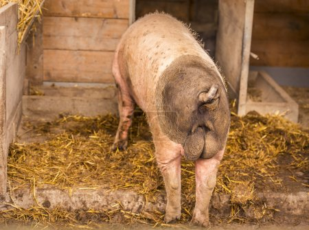 Swabian male pig rear view