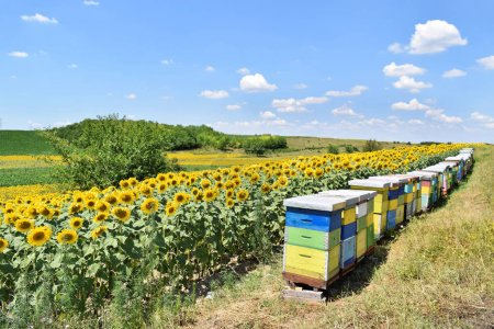 Beehives in a sunflower farm