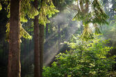 Sun beams pour through trees in green forest