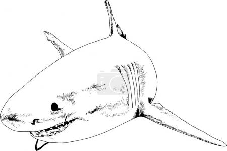 A great white shark drawn in ink on a white backgr...