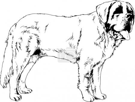 Purebred dog in a beautiful pose, drawn in ink by ...