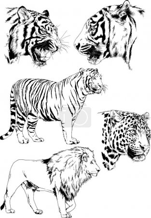 Illustration for Vector drawings sketches different predator , tigers lions cheetahs and leopards are drawn in ink by hand , objects with no background - Royalty Free Image