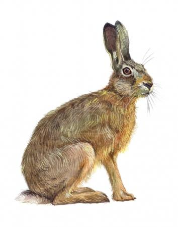 Photo for Watercolor single hare animal isolated on a white background illustration. - Royalty Free Image