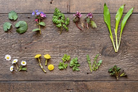 Photo for Wild garlic, lungwort, nettle, coltsfoot and other medicinal herbs and wild edible plants collected in early spring on a wooden background - Royalty Free Image