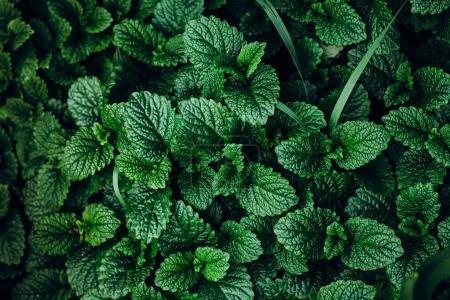 Green Mint Plants
