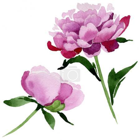 Wildflower pink peony flower in a watercolor style...