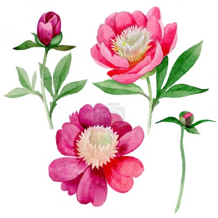 Pink peony. Floral botanical flower. Wild summer leaf wildflower isolated.