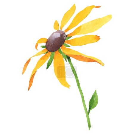 Photo pour Fleur botanique florale de Rudbecka hirta. Fleur sauvage de neige sauvage de feuille de source d'isolement. Ensemble de fond d'aquarelle. Aquarelle de dessin à l'aquarelle. Élément d'illustration de fleur d'isolement. - image libre de droit
