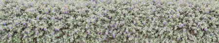 Shrubby germander blue flowers hedge