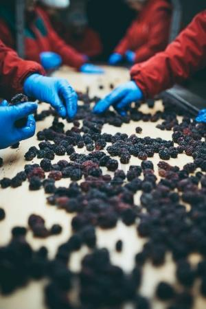 People at work. Unrecognizable workers hands in protective blue gloves make selection of frozen blackberries. Factory for freezing and packing of fruits and vegetables