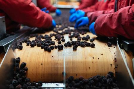 Photo for People at work. Unrecognizable workers hands in protective blue gloves make selection of frozen blackberries. Factory for freezing and packing of fruits and vegetables - Royalty Free Image