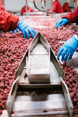 People at work. Unrecognizable workers hands in protective blue gloves make selection of frozen raspberries. Factory for freezing and packing of fruits and vegetables. Low light and visible noise