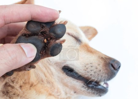 Closeup many ticks on foot dog, selective focus, pet healthy concept