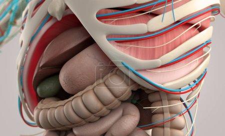 Photo pour Modèle d'anatomie humaine gros plan, illustration 3D - image libre de droit