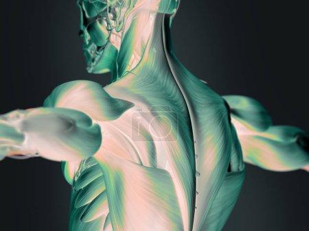 Human upper back anatomy model