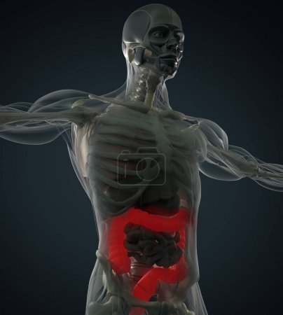 Photo for Human colon anatomy model. 3d illustration. - Royalty Free Image