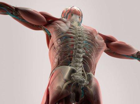Human back anatomy model