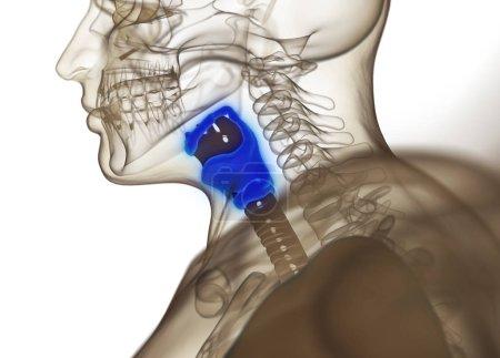 Human thyroid gland anatomy model