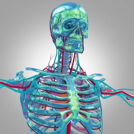 human skeleton anatomy model