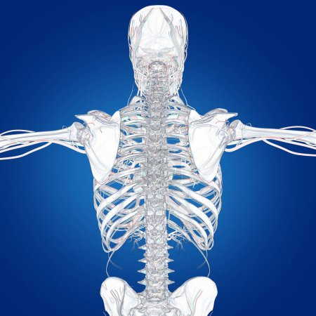 human skeleton anatomy model