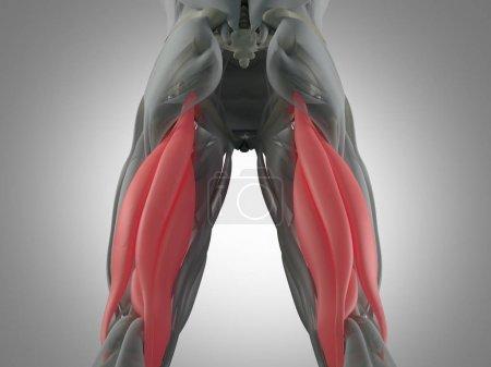 Hamstring muscle group anatomy model
