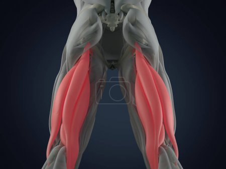 Hamstring muscle group anatomy model