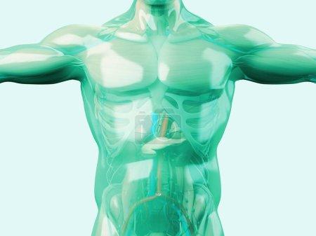 Human anatomy model with glass skin