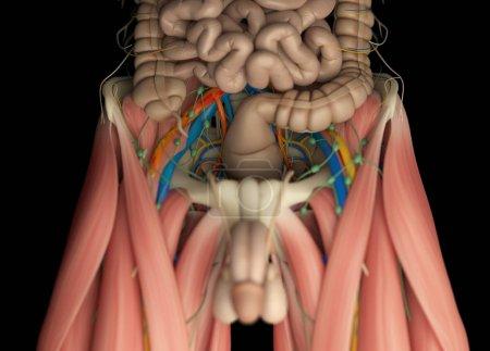 Photo pour Modèle du système digestif humain, système vasculaire, lymphatique et nerveux musculaire. Illustration 3D - image libre de droit
