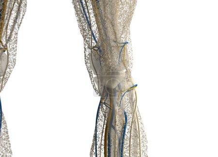 human Knee anatomy details