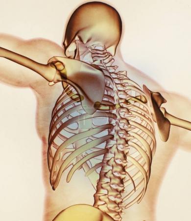 Human collar bones anatomy model