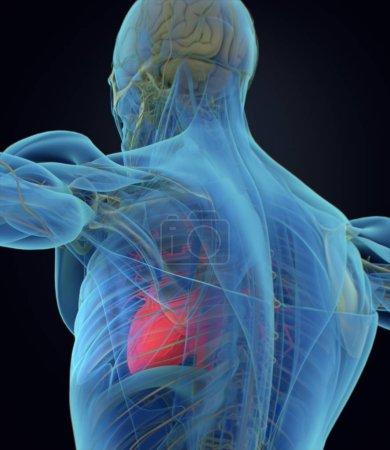 Photo pour Modèle de coeur humain d'anatomie. illustration 3D. - image libre de droit