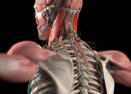 Photo pour Modèle d'anatomie du dos humain, illustration 3D - image libre de droit