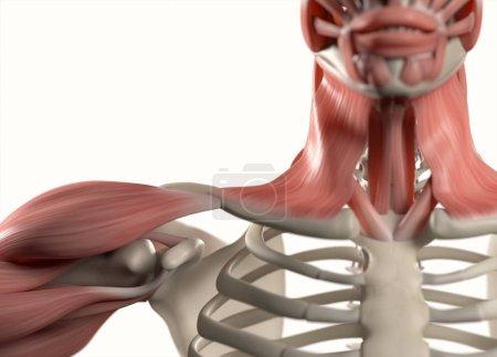 Human shoulder anatomy model