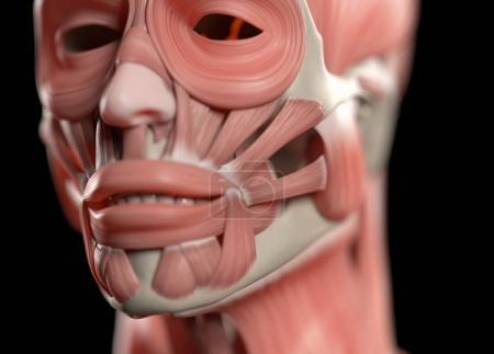 Human face anatomy model