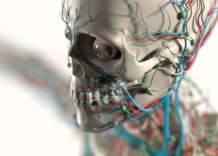 vascular and nervous systems of human