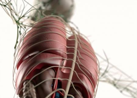 human organs and nervous system