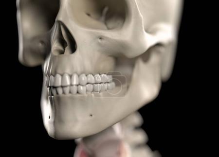Human Skull anatomy model
