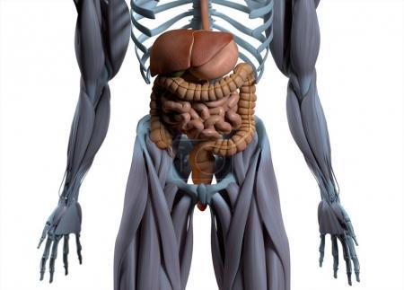 Digestive system anatomy model