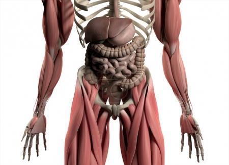 Photo pour Modèle d'anatomie du système digestif. Illustration 3d . - image libre de droit