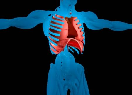 human lungs anatomy model